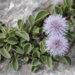 Globularia incanescens, simbolo dell'Orto botanico