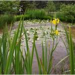 Il laghetto: fioritura di giaggioli acquatici (Iris pseudacorus) e ninfee (Nymphaea alba)